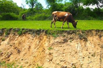 Крава на ръба