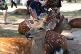 Елени и сърни се разхождат свободно в парк Нара