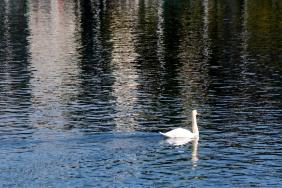 Лебед в река Лимат.