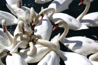 Лебедите.