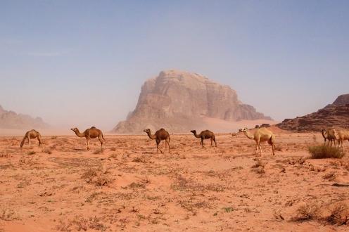 Стадо камили на фона на пясъчната буря във Вади Рум.