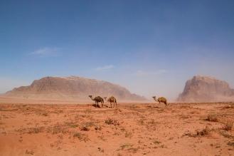 Стадо камили на фона на пясъчната буря.