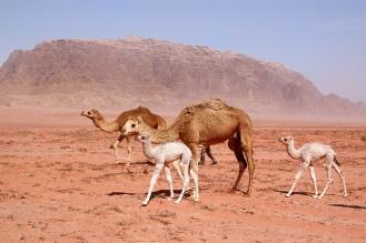 Семейство камили. Малките са бели на цвят.