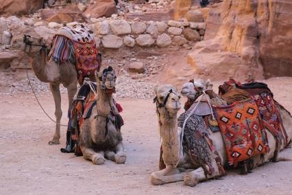 Ако не ви се ходи пеша, може да яздите камили.