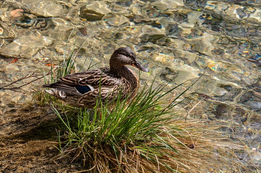 Патица в едно от Плитвичките езера.