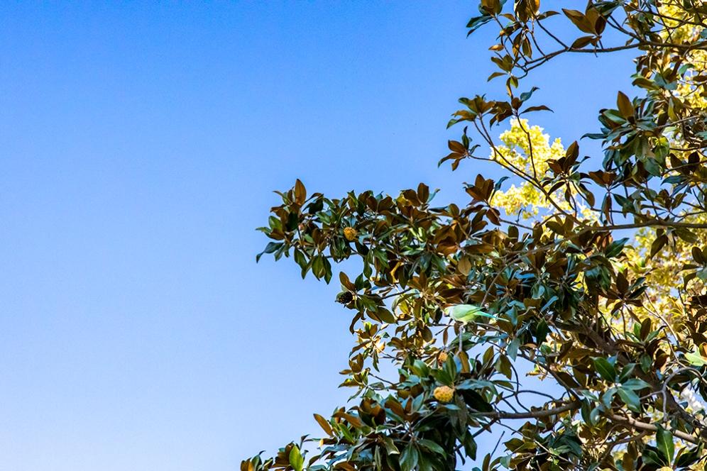 Папагалите в парка Мария Луиза.