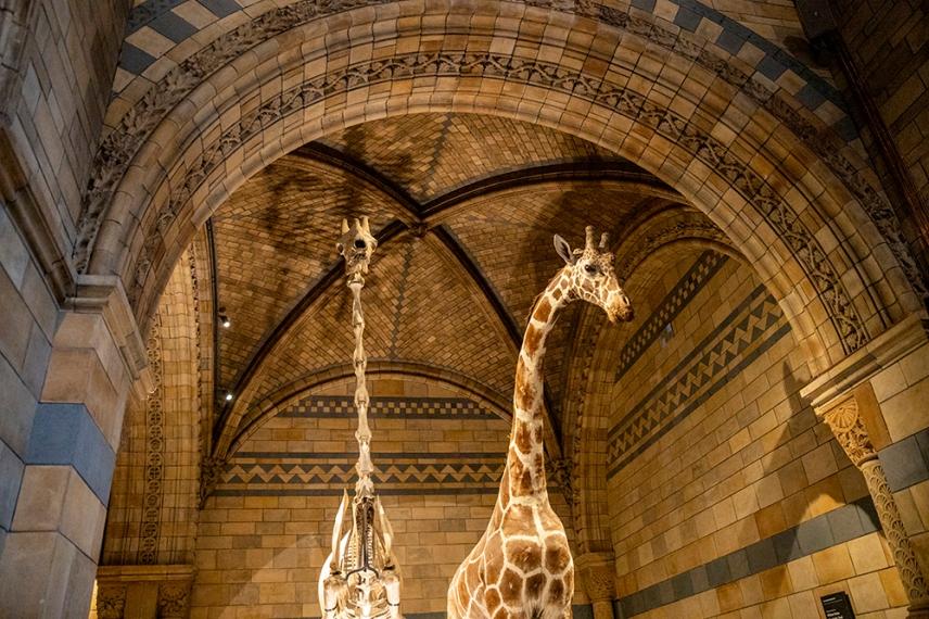 Скелет на жираф в зала Hintze на Природо-научния музей, Лондон.