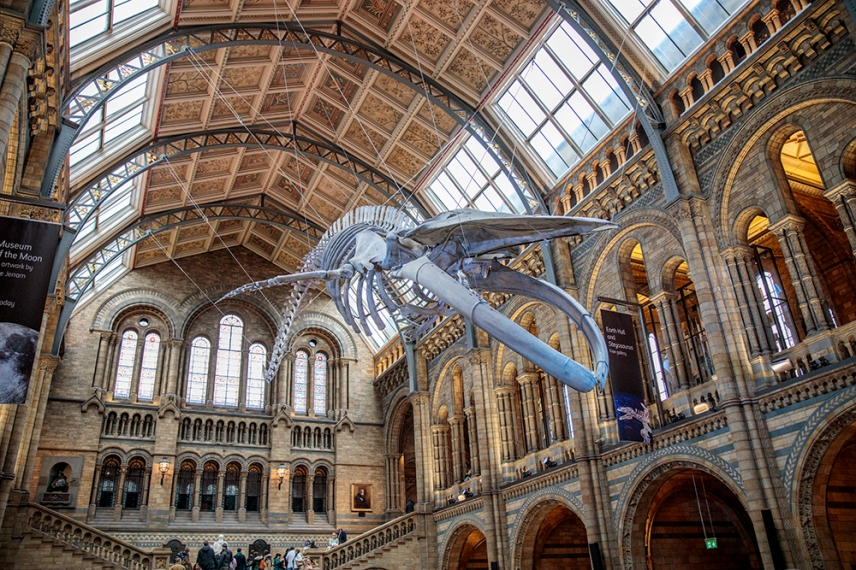 Скелет на женския син кит Надежда.
