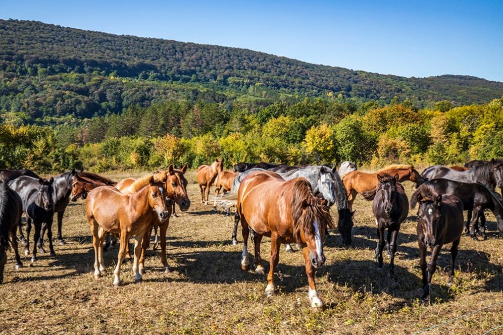 Стадо коне на няколко километра от Старо Стефаново.